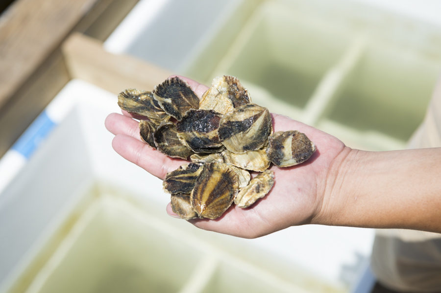 These baby oysters are grown in Farm Suzuki's shallow oyster fields.