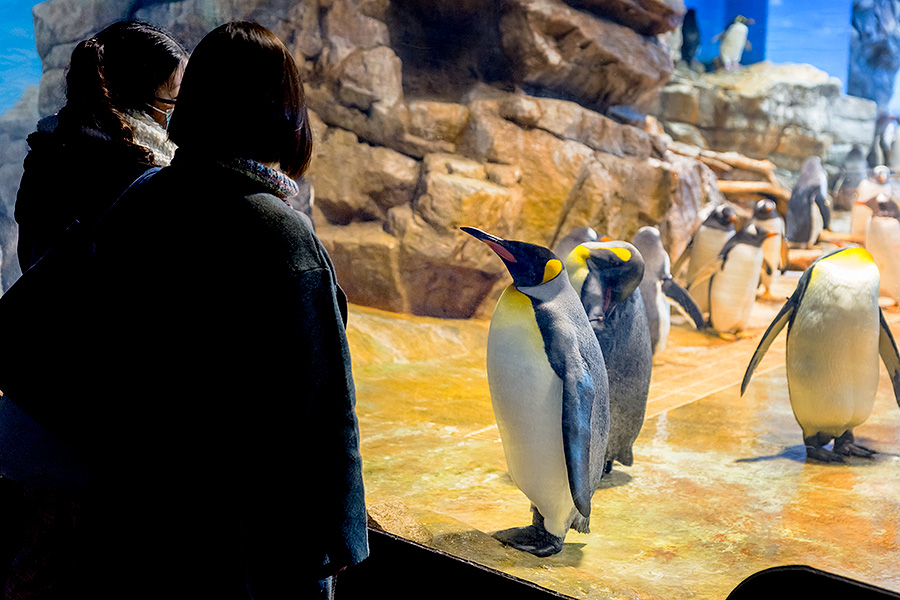 The King Penguins are a curious bunch.
