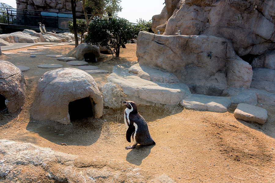 As much as possible the Humboldt Penguin's enclosure replicates their natural environment.