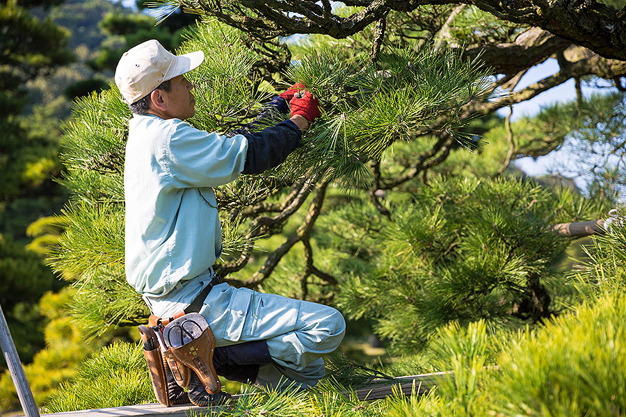 A gardener in his element sculpts an over 300-year-old bonsai tree into a living work of art on the grounds of Ritsurin Garden.