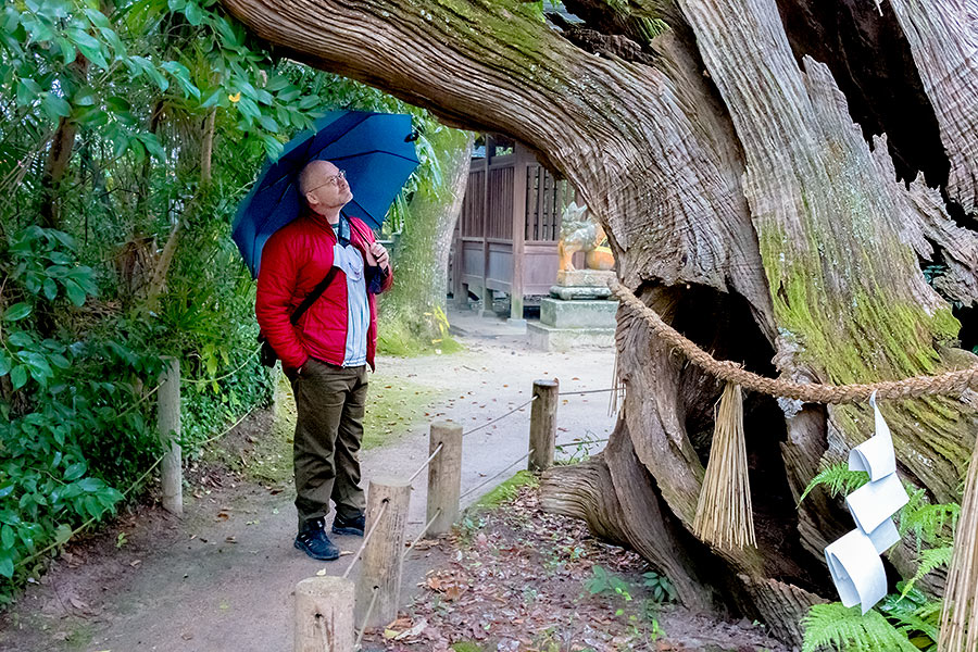 Two ancient trees at Oyamazumi, aged 2,600 and 3,000 years, themselves witnessed the armed procession of the celebrated warriors whose relics now grace Oyamazumi's treasure hall.