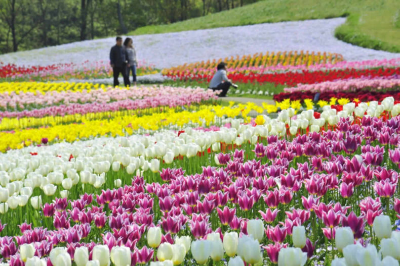 Seasonal blooms welcome visitors at shikokus greatest flower garden a spring flower profusion in april mightylinksfo