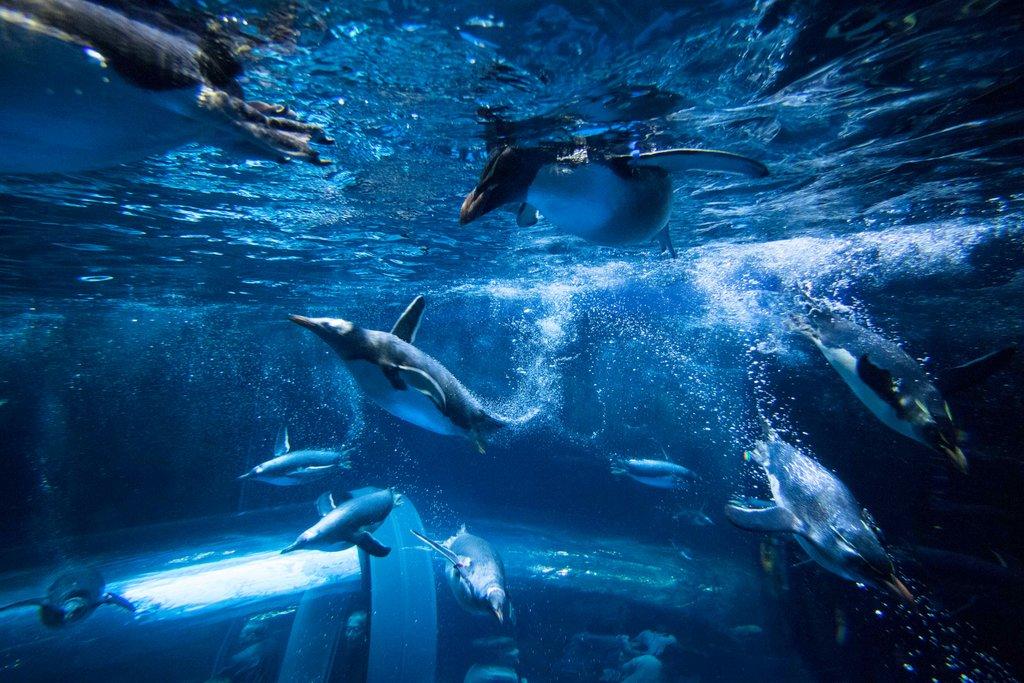 水中を〝飛ぶ〟ペンギンたちに大興奮!/しものせき水族館・海響館関連キーワード関連記事この記事を取材したフォトライターHashtagsグルメホテル・宿アートクルーズサイクリングおみやげ・お取り寄せ「アート」のランキング「アート」の記事はまだまだありますReleaseRankingKeywordHashtagsFeatures