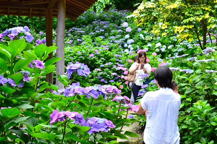 With 80 Diffe Varieties 4 000 Bushes In Full Bloom Suo Amida Temple Is Western An S No 1 For Hydrangeas Stouchi Finder
